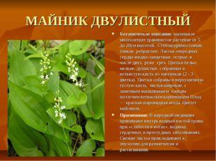 МАЙНИК ДВУЛИСТНЫЙ Ботаническое описание: маленькое многолетнее травянистое ра