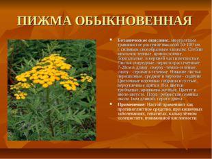 ПИЖМА ОБЫКНОВЕННАЯ Ботаническое описание: многолетнее травянистое растение вы