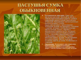 ПАСТУШЬЯ СУМКА ОБЫКНОВЕННАЯ Ботаническое описание: Одно- или двулетнее растен
