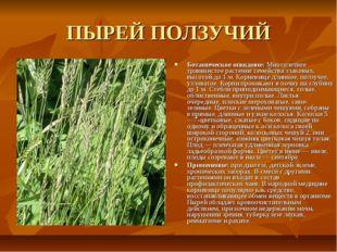 ПЫРЕЙ ПОЛЗУЧИЙ Ботаническое описание: Многолетнее травянистое растение семейс
