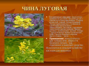 ЧИНА ЛУГОВАЯ Ботаническое описание: многолетнее травянистое растение, высотой