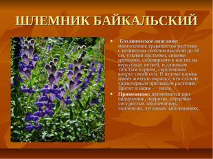 ШЛЕМНИК БАЙКАЛЬСКИЙ Ботаническое описание: многолетнее травянистое растение с