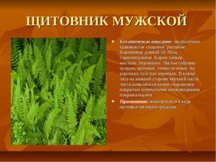 ЩИТОВНИК МУЖСКОЙ Ботаническое описание: многолетнее травянистое споровое раст