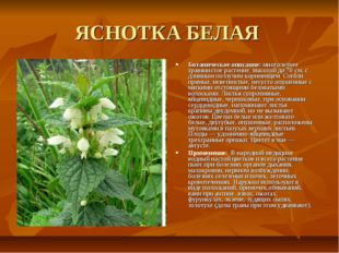 ЯСНОТКА БЕЛАЯ Ботаническое описание: многолетнее травянистое растение, высото