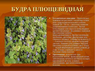 БУДРА ПЛЮЩЕВИДНАЯ Ботаническое описание : Многолетнее травянистое растение с