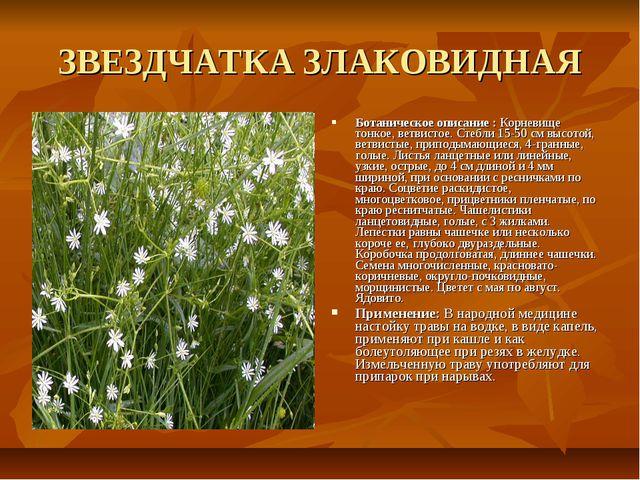 ЗВЕЗДЧАТКА ЗЛАКОВИДНАЯ Ботаническое описание : Корневище тонкое, ветвистое. С...