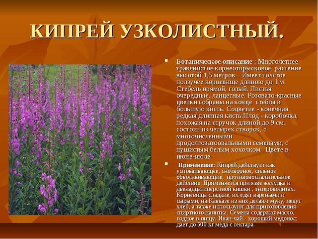 КИПРЕЙ УЗКОЛИСТНЫЙ. Ботаническое описание : Многолетнее травянистое корнеотпр...