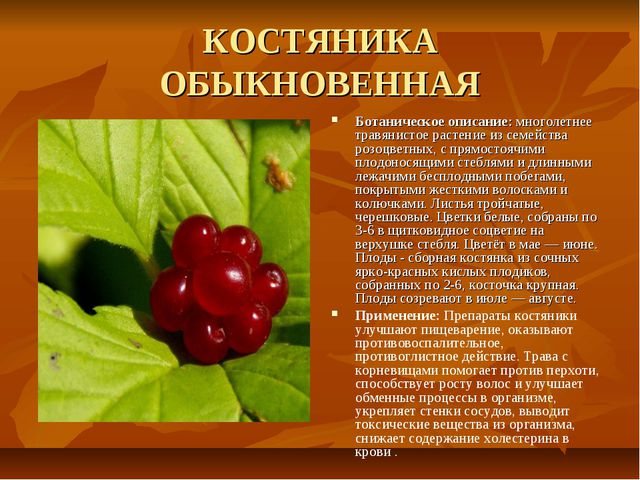 КОСТЯНИКА ОБЫКНОВЕННАЯ Ботаническое описание: многолетнее травянистое растени...