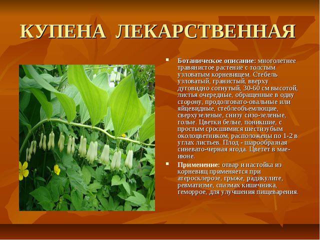 КУПЕНА ЛЕКАРСТВЕННАЯ Ботаническое описание: многолетнее травянистое растение...