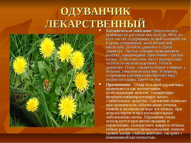 ОДУВАНЧИК ЛЕКАРСТВЕННЫЙ Ботаническое описание: Многолетнее травянистое растен...