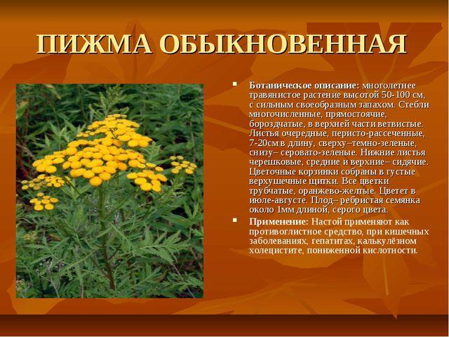 ПИЖМА ОБЫКНОВЕННАЯ Ботаническое описание: многолетнее травянистое растение вы...