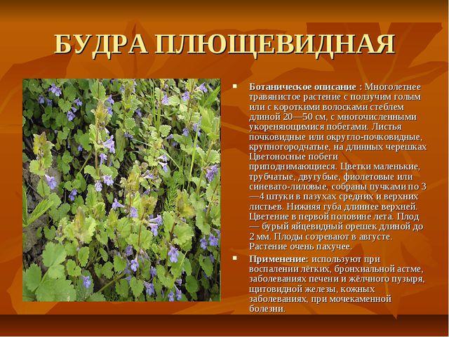 БУДРА ПЛЮЩЕВИДНАЯ Ботаническое описание : Многолетнее травянистое растение с...