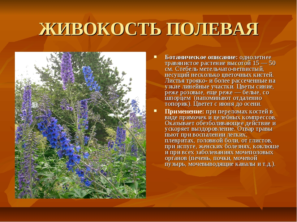 ЖИВОКОСТЬ ПОЛЕВАЯ Ботаническое описание: однолетнее травянистое растение высо...