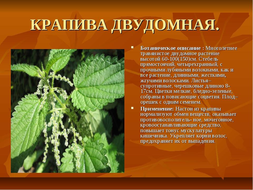 КРАПИВА ДВУДОМНАЯ. Ботаническое описание : Многолетнее травянистое двудомное...