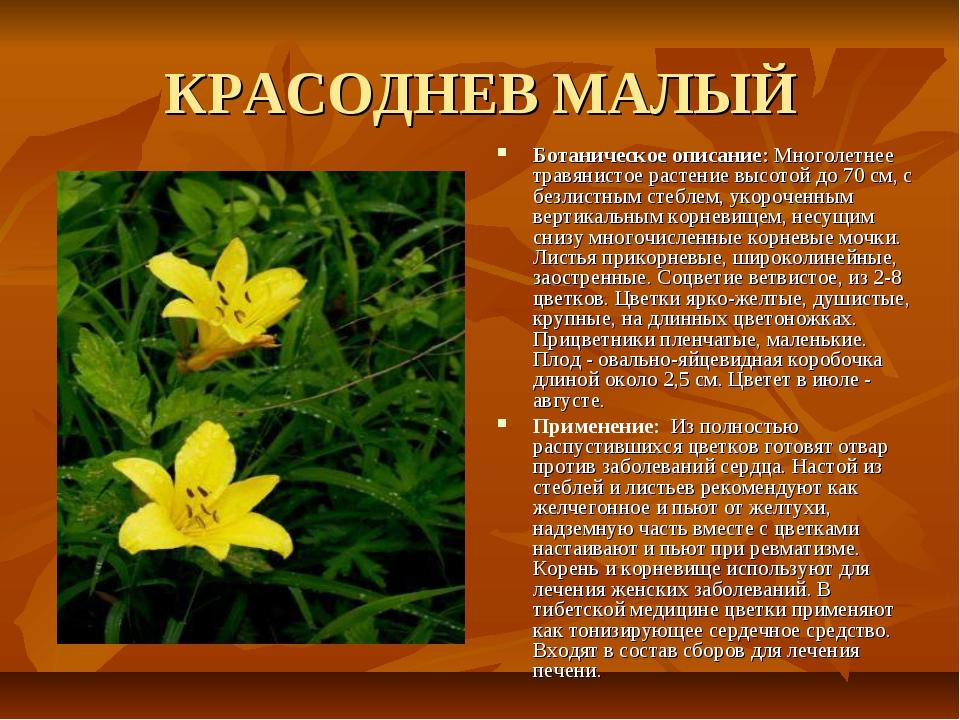 КРАСОДНЕВ МАЛЫЙ Ботаническое описание: Многолетнее травянистое растение высот...