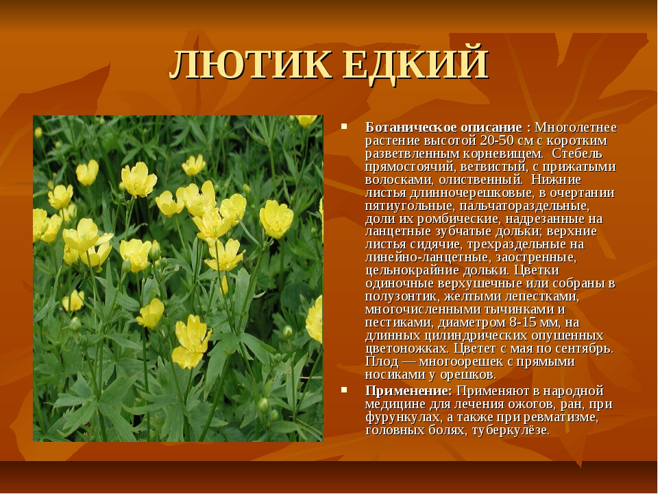 ЛЮТИК ЕДКИЙ Ботаническое описание : Многолетнее растение высотой 20-50 см с к...