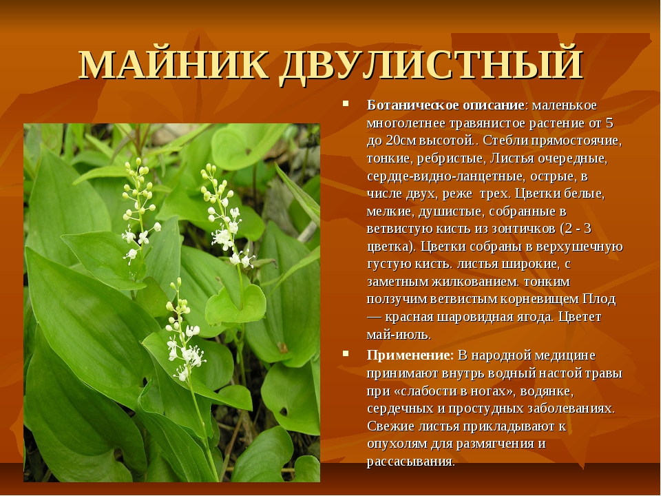 МАЙНИК ДВУЛИСТНЫЙ Ботаническое описание: маленькое многолетнее травянистое ра...