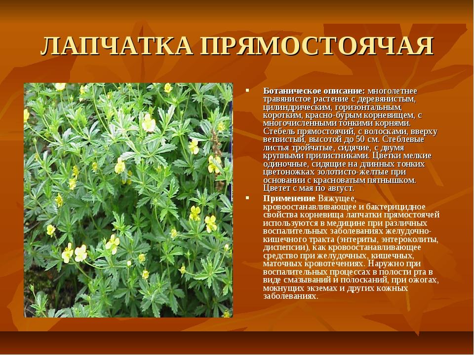 ЛАПЧАТКА ПРЯМОСТОЯЧАЯ Ботаническое описание: многолетнее травянистое растение...