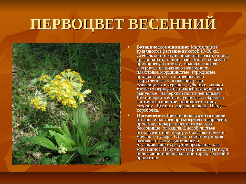ПЕРВОЦВЕТ ВЕСЕННИЙ Ботаническое описание: Многолетнее травянистое растение вы...