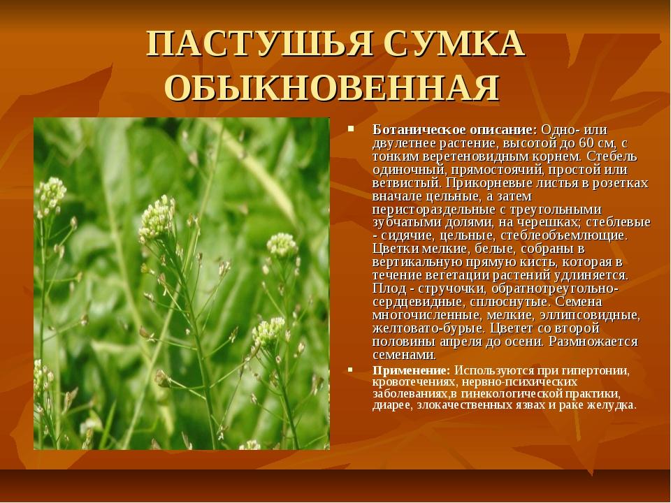 ПАСТУШЬЯ СУМКА ОБЫКНОВЕННАЯ Ботаническое описание: Одно- или двулетнее растен...