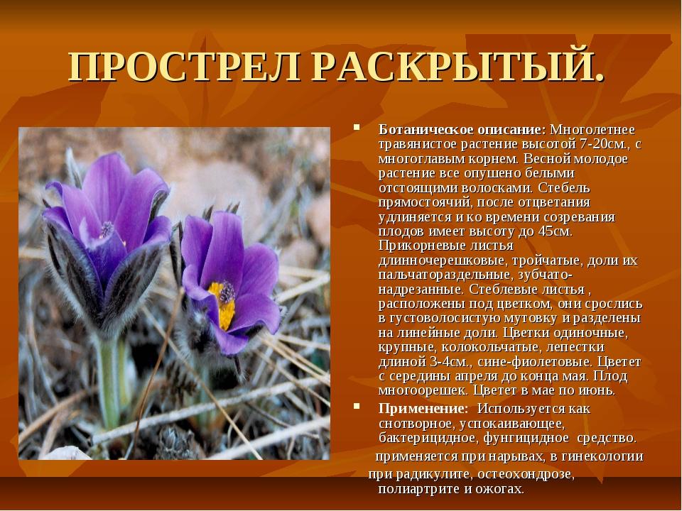 ПРОСТРЕЛ РАСКРЫТЫЙ. Ботаническое описание: Многолетнее травянистое растение в...