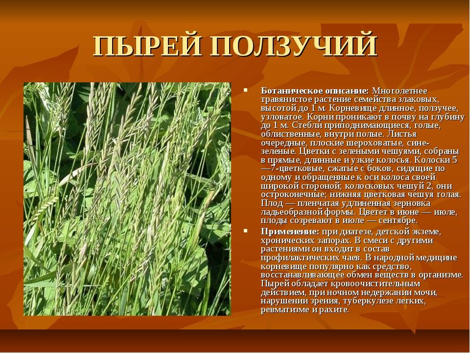 ПЫРЕЙ ПОЛЗУЧИЙ Ботаническое описание: Многолетнее травянистое растение семейс...