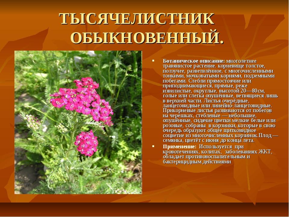 ТЫСЯЧЕЛИСТНИК ОБЫКНОВЕННЫЙ. Ботаническое описание: многолетнее травянистое р...
