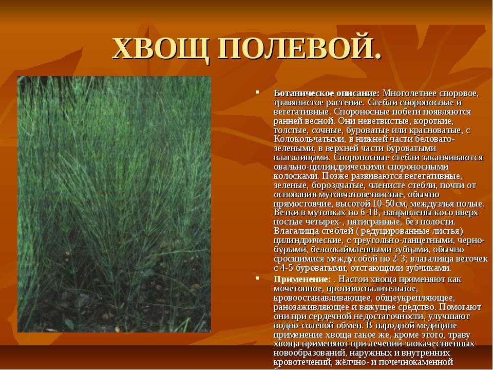 ХВОЩ ПОЛЕВОЙ. Ботаническое описание: Многолетнее споровое, травянистое растен...
