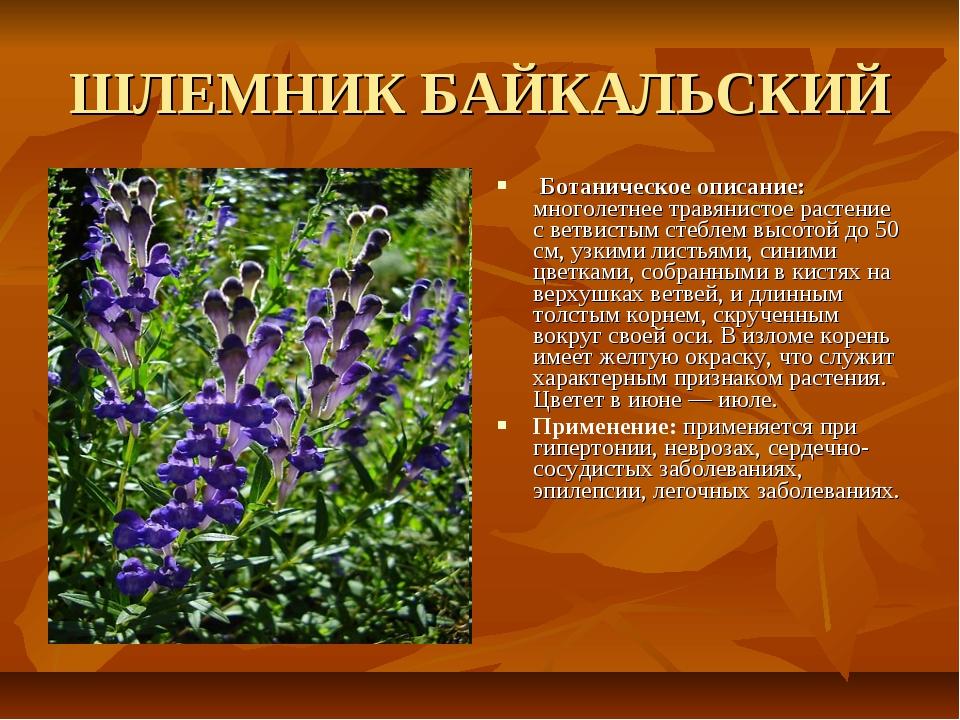 ШЛЕМНИК БАЙКАЛЬСКИЙ Ботаническое описание: многолетнее травянистое растение с...