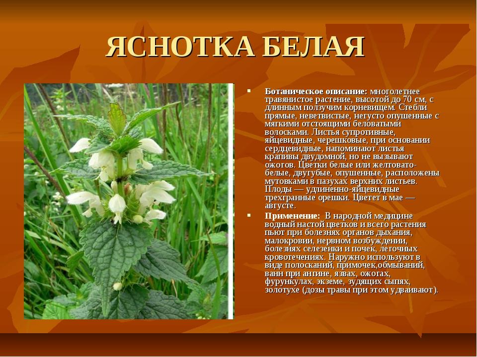 ЯСНОТКА БЕЛАЯ Ботаническое описание: многолетнее травянистое растение, высото...