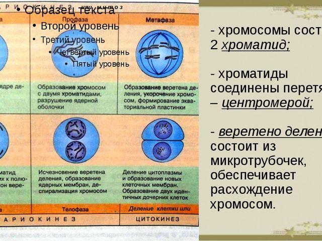 - хромосомы состоят из 2 хроматид; - хроматиды соединены перетяжкой – центром...