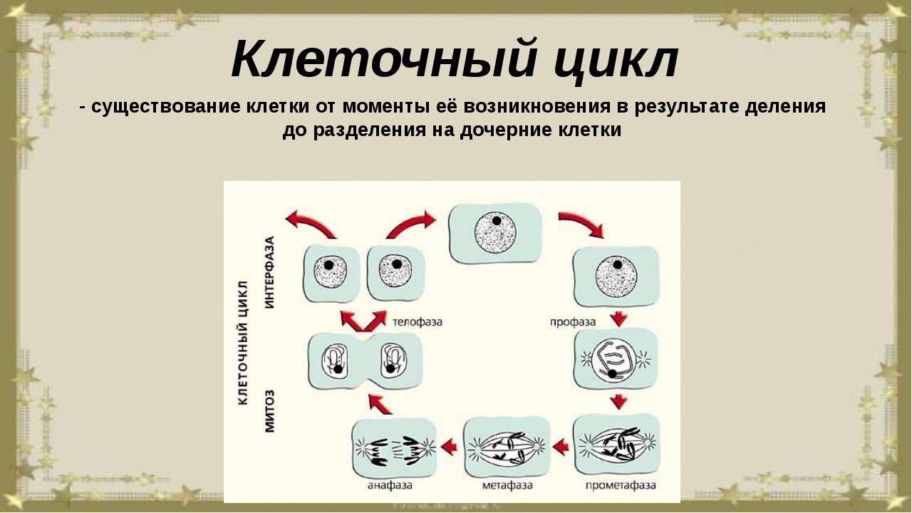 Клеточный цикл - существование клетки от моменты её возникновения в результат...