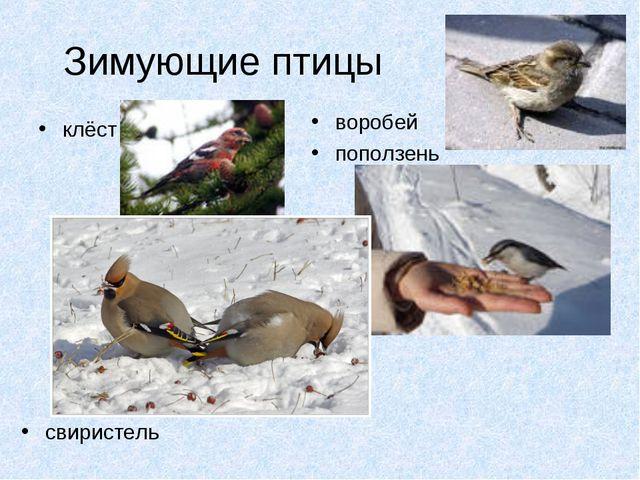 Зимующие птицы клёст воробей поползень свиристель