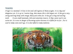 TIGERS A tiger is a mammal. It lives in hot and cold regions of Asian jungles