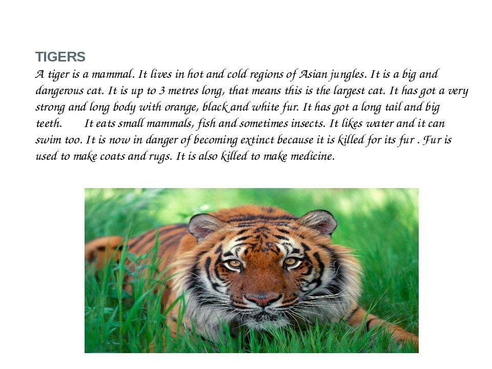 TIGERS A tiger is a mammal. It lives in hot and cold regions of Asian jungles...