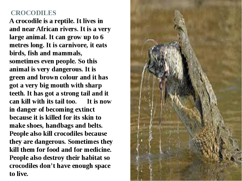CROCODILES A crocodile is a reptile. It lives in and near African rivers. It...