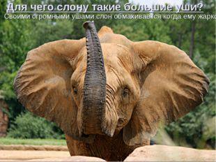 Для чего слону такие большие уши? Своими огромными ушами слон обмахивается ко