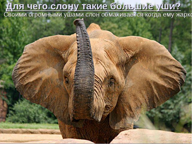 Для чего слону такие большие уши? Своими огромными ушами слон обмахивается ко...
