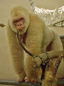 https://upload.wikimedia.org/wikipedia/commons/thumb/4/4d/Snowflake_-_Barcelona_Zoo_White_Gorilla4.jpg/220px-Snowflake_-_Barcelona_Zoo_White_Gorilla4.jpg