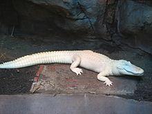 https://upload.wikimedia.org/wikipedia/commons/thumb/7/79/American_Alligator_001.JPG/220px-American_Alligator_001.JPG