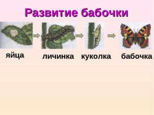 Развитие бабочки яйца личинка куколка бабочка