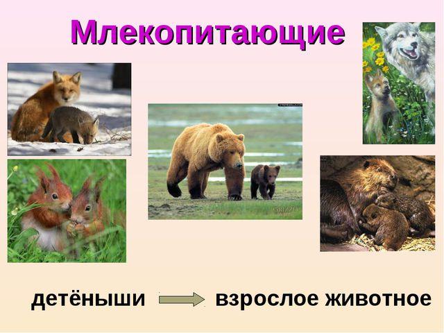 Млекопитающие детёныши взрослое животное
