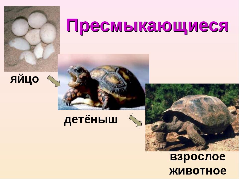 Пресмыкающиеся яйцо детёныш взрослое животное