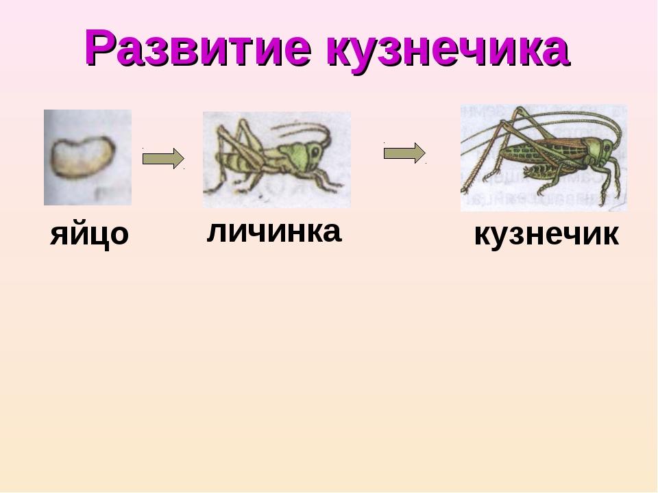 яйцо личинка кузнечик Развитие кузнечика