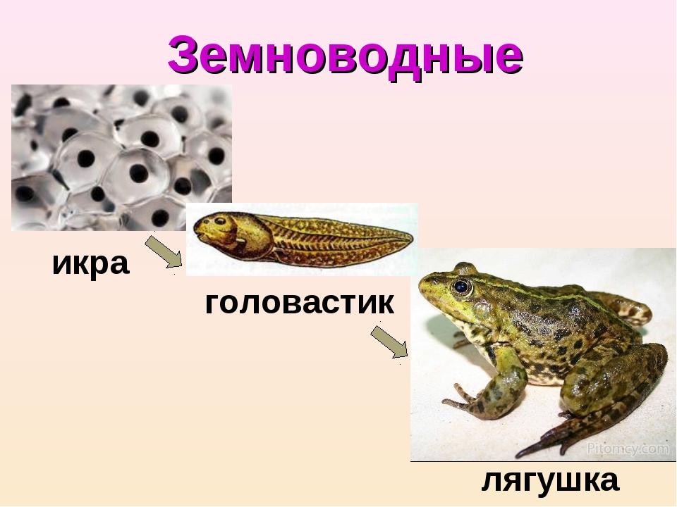 Земноводные икра головастик лягушка