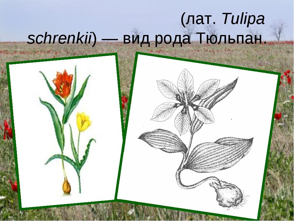 Тюльпан Шре́нка (лат.Tulipa schrenkii) — вид рода Тюльпан.