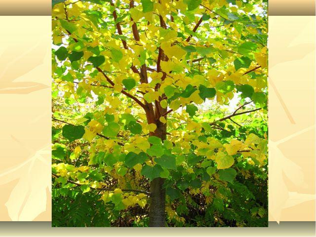 У какого дерева раньше всех начинают желтеть листочки и узнаем, что наступила...