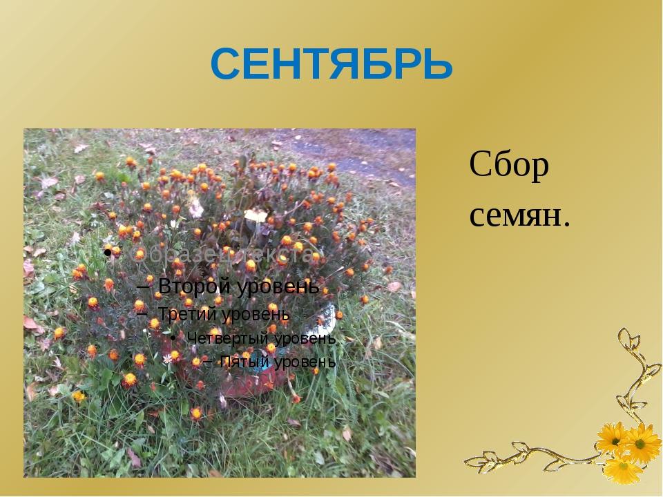 СЕНТЯБРЬ Сбор семян.