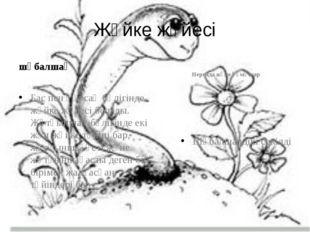 Жүйке жүйесі шұбалшаң Бас пен құрсақ бөлігінде жүйке жүйесі болады. Жұтқыншақ