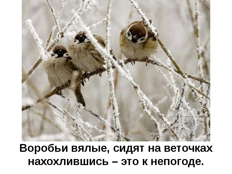 Воробьи вялые, сидят на веточках нахохлившись – это к непогоде.
